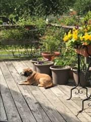 Our dog, Dylan, in splendid repose on our deck last year.