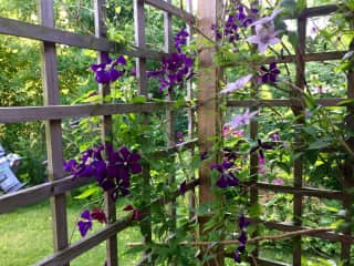 Clematis on the porch