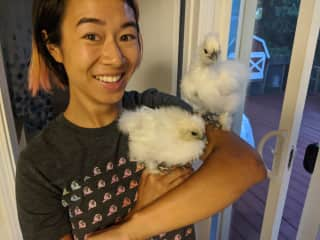 We raise silkie chickens, from newly hatched eggs.