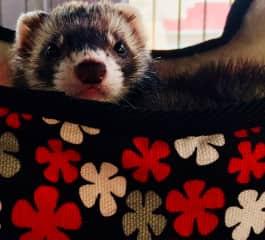 Molly the ferret