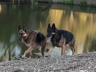 Duke and Loki, clients of 4 years in San Diego County