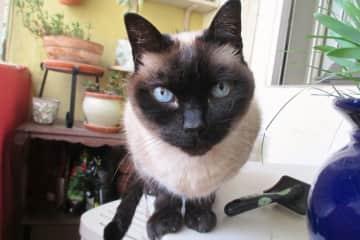 Blau, the Siamese cat in Barcelona