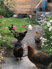 Chickens (only Rocky and Amber remain)