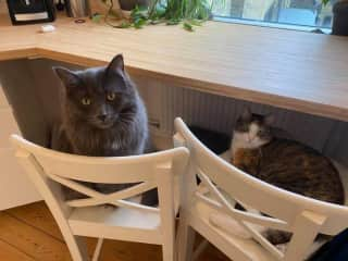 Orion and Luna relaxing at the kitchen bar.