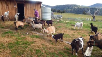On our farmsit in Tasmania looking after 40 mini goats plus 27 other animals.