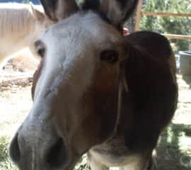 Burrito the Donkey