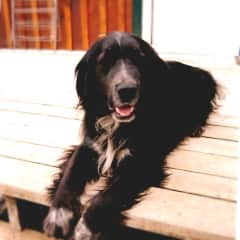 Our beloved Flat Coat Retreiver , lived a very happy 18 years