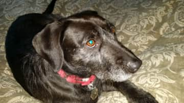 Maggie, such a sweet❤ buddy(ette) for companionship in Bend, OR downtown visits, neighborhood, dog park and nature hikes.