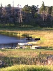 Moose swimming in pond