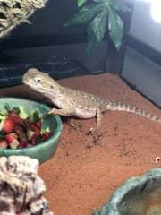 Strawberry the lizard!