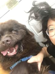 Congyu sitting goofy Chewy the gentle giant (180lb Newfoundland) in San Diego!
