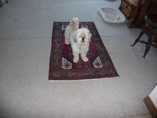 Our darling Grand-dog Cha Cha