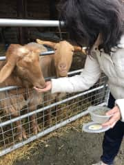 Congyu feeding hungry sheep in Salisbury!