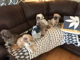 Christmas with all of the family fur babies!  We are a shih tzu family!