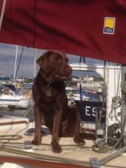 Bella...8 year old rescued chocolate lab, missing a back leg but still very active!