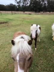 Wally and Cyril - mini horses