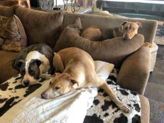 Three friendly pit bulls relaxing we sat for twice.