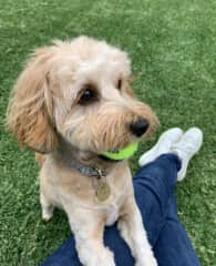 Ivy is a 1 year old Cavoodle. She is 9kg and loves company