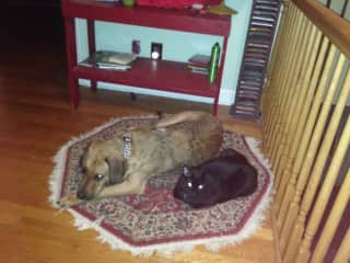 Our one year-old dog, Pancho, laying next to his three-year-old buddy cat, Max