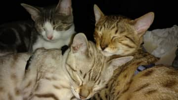 Clank (gray and white), Cleo (snow leopard) and Tasha (Jaguar)