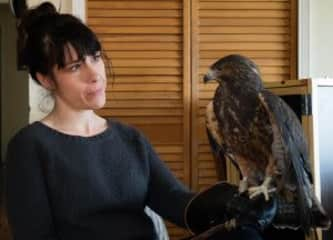 with Idaho, a permanently injured Swainson's Hawk