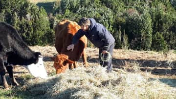 Feeding and stroking the neighbours' cows. (Volunteer wrk, Chile)