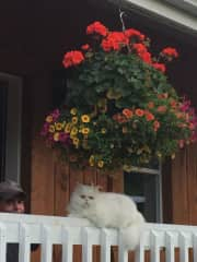Snowball our Persian furball, unfortunately passed!