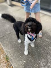 Sundae is a young Border Collie x Poodle. She is fun and enthusiastic about life! She loves to play ball and wrestle with Molly.