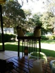 Not pets but love our friendly Kookaburras!