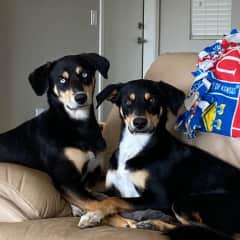 Nika and Gage are littermates and love to play with each other