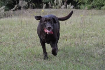 """Big Boy Johnson loves running on the farm with """"Aunt Polly"""""""