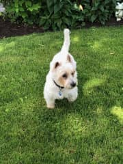Boomerang, our Westie 14 1/2 yrs old with a very easy temperament.