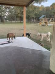 Three of my four rescued grand dogs. Charlie, Pierre and Duke.