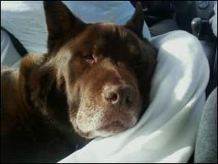 My family's beloved dog Buddha. He was a chow/pit bull mix.