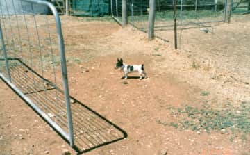 """lofty, another of Chris's rescue dogs found as a tiny pup walking down a main road on boxing some years ago. His front legs were """" Queen Anne"""" legs and his back legs were stunted. Henece the reason for his name Lofty, because he viewed the world"""