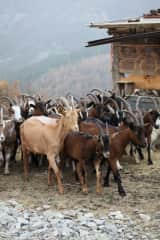 Helping to care for goats in the Italian Alps