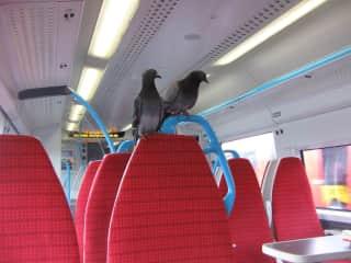 2 pigeons on Gatwick Express, London July 2018