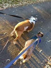 George and Sheba taking me for a walk!
