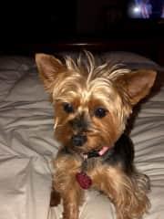 Belle, our 7yo Yorkie.