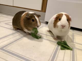 Lacey and Coco, our foster piggies.