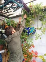 Mark tending to my auntie's tomato plant in Ireland