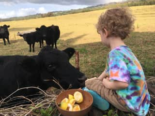 Wilder feeding the cows their afternoon snack.