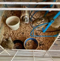 Three Degu, from a housesit in France