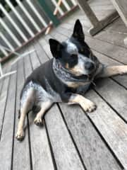 My Cattle dog, Belle