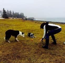 Terri playing fetch while dog sitting Border Collies, Rex and Wedge (Halifax, Nova Scotia, Canada) 2016