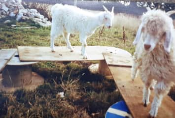 Rofus and Nor, 2 beautiful goats that we looked after for 4 months