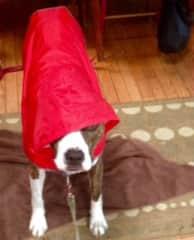 Ruby prepared for a rainy walk