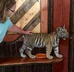 Animal Rescue:  baby tiger