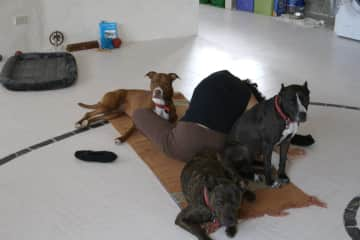 yoga dogs, love to be close and share the mat with Kate