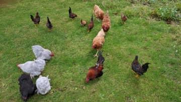 Chickens ... July 2020.